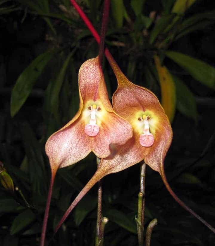 Monkey faced orchids flash