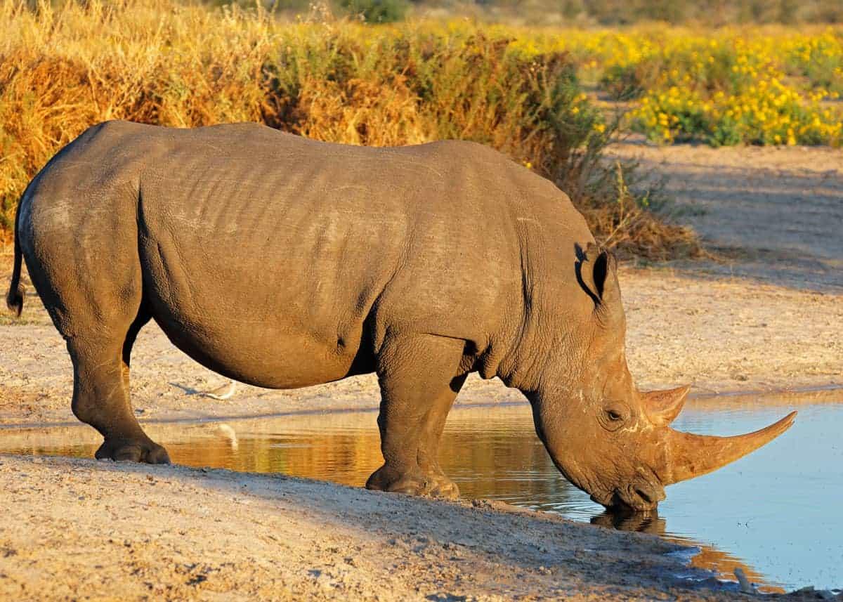 White rhino Uganda facts