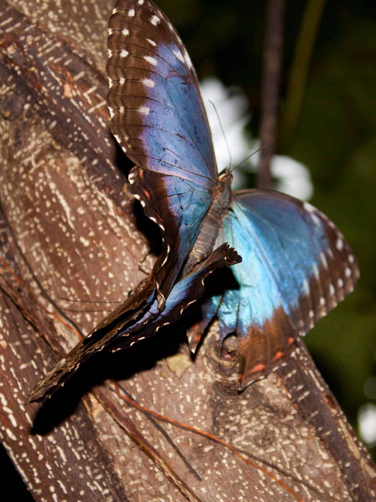 Blue morpho butterfly mating
