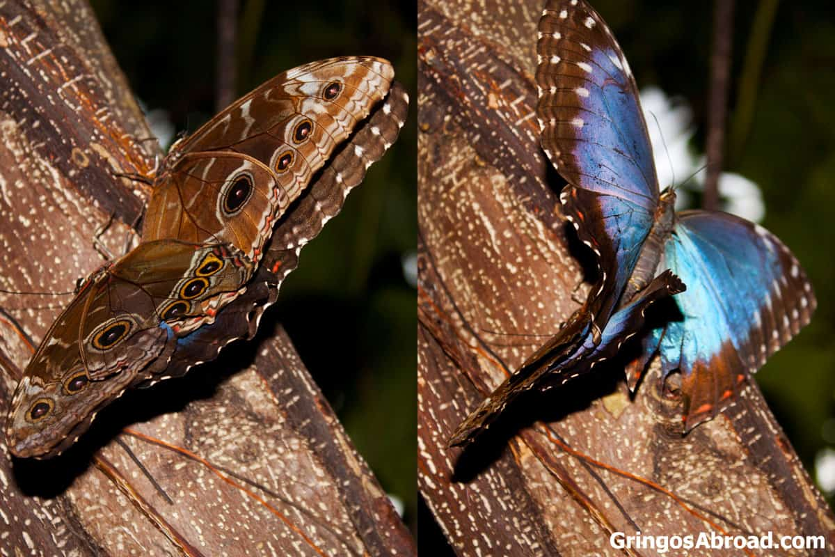 Blue morpho mating butterfly