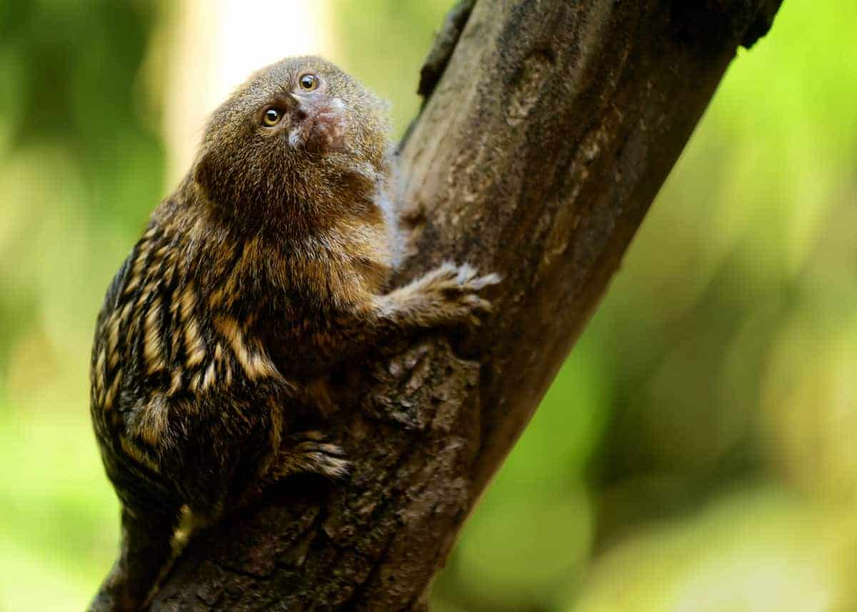 Pygmy marmoset diet