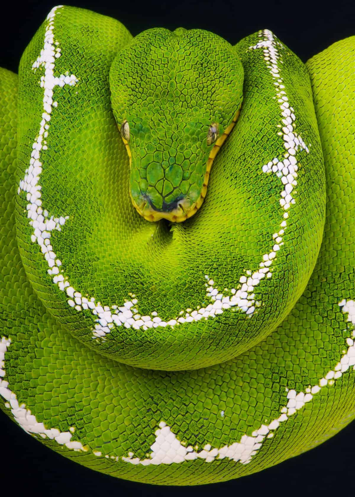 Emerald tree boa facts