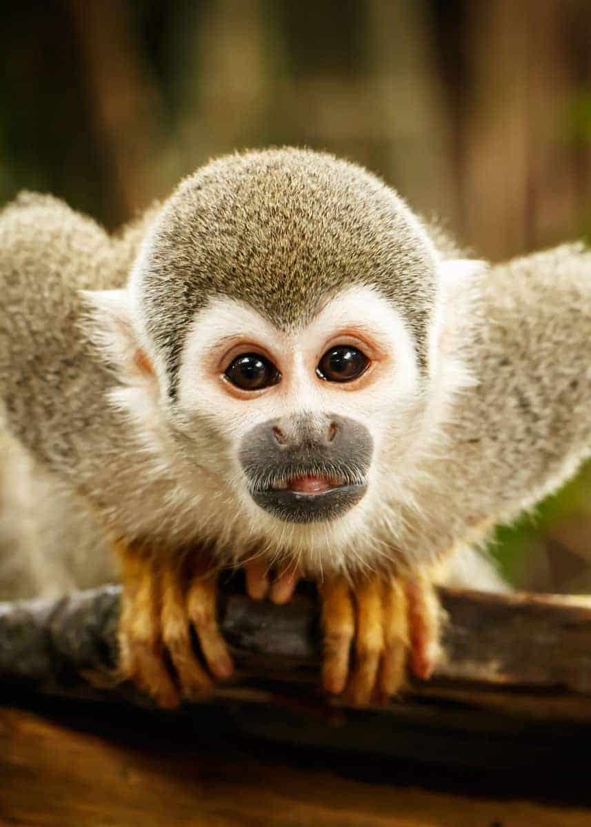 facts about squirrel monkeys
