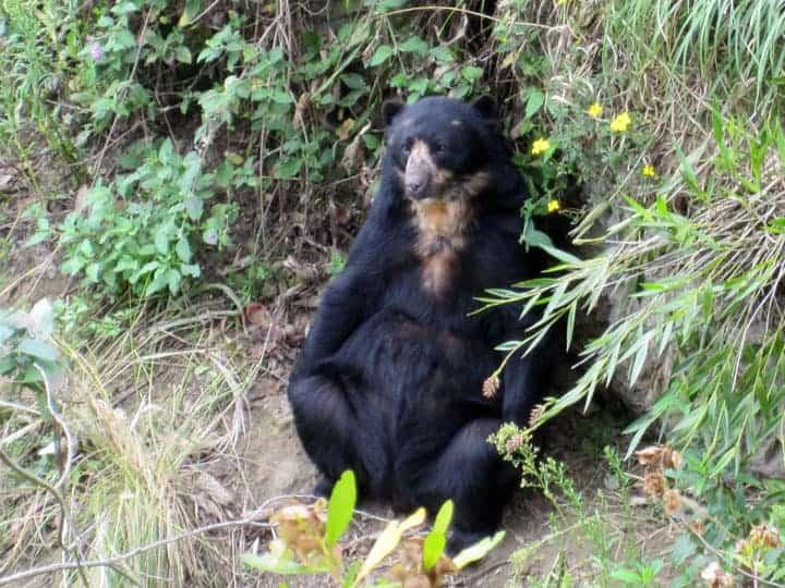 Female Andean Bear Cuenca Ecuador