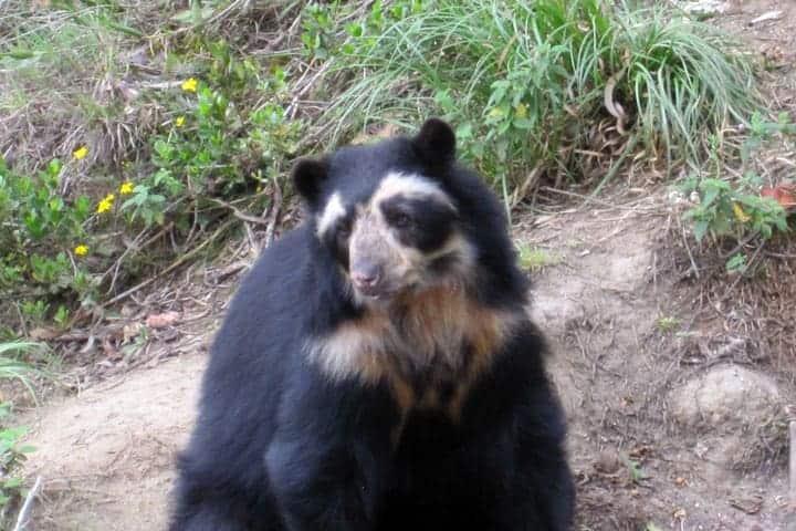 Male Andean Bear Cuenca Ecuador