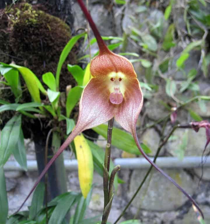 Monkey faced orchid Cuenca Ecuador