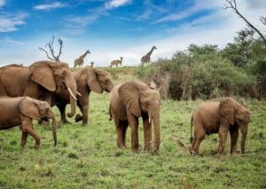 African Bush Elephants