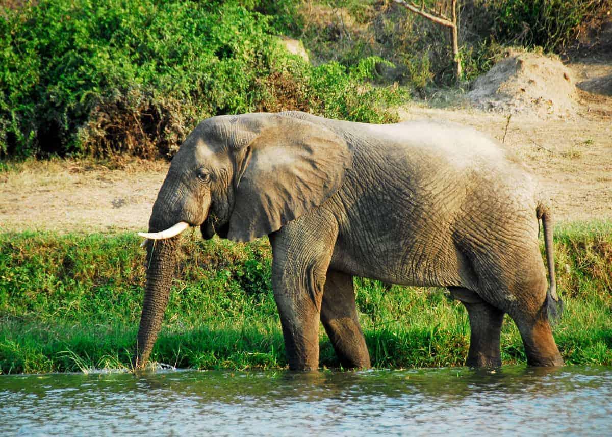 African Bush Elephants fun facts