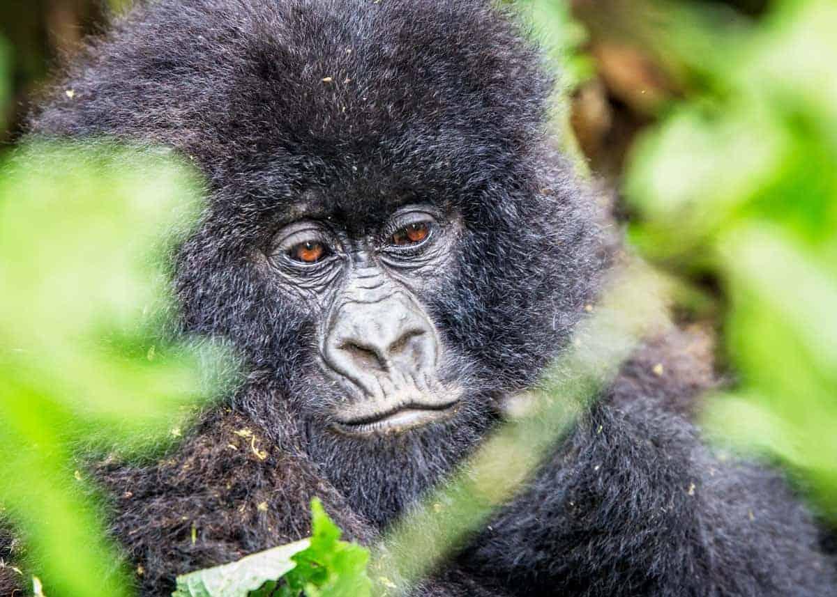 Baby mountain gorilla facts