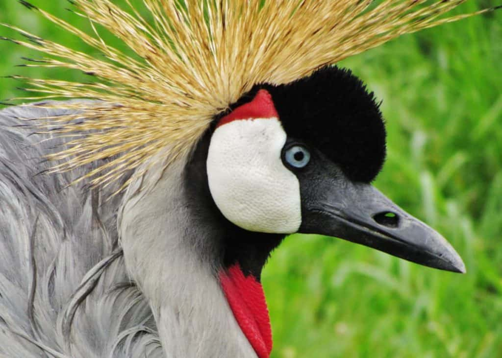 Crested crane facts