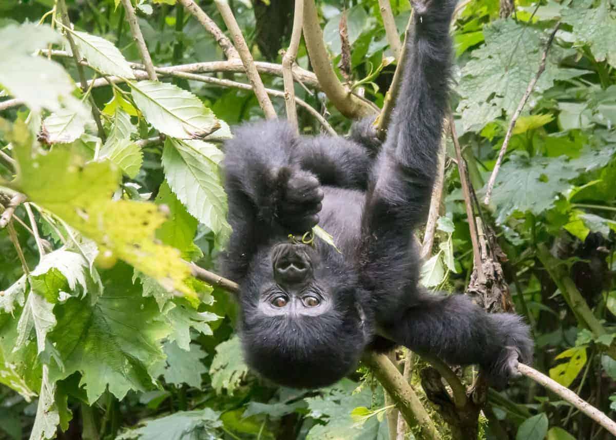 facts about Uganda gorillas