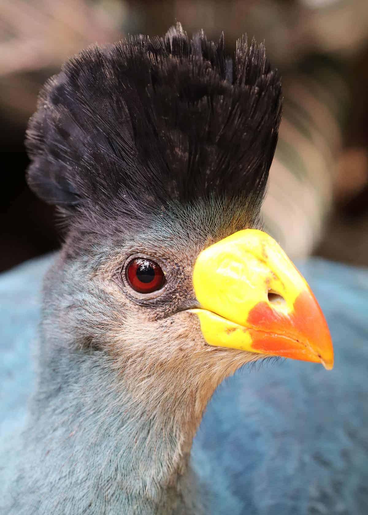 Great blue turaco Uganda