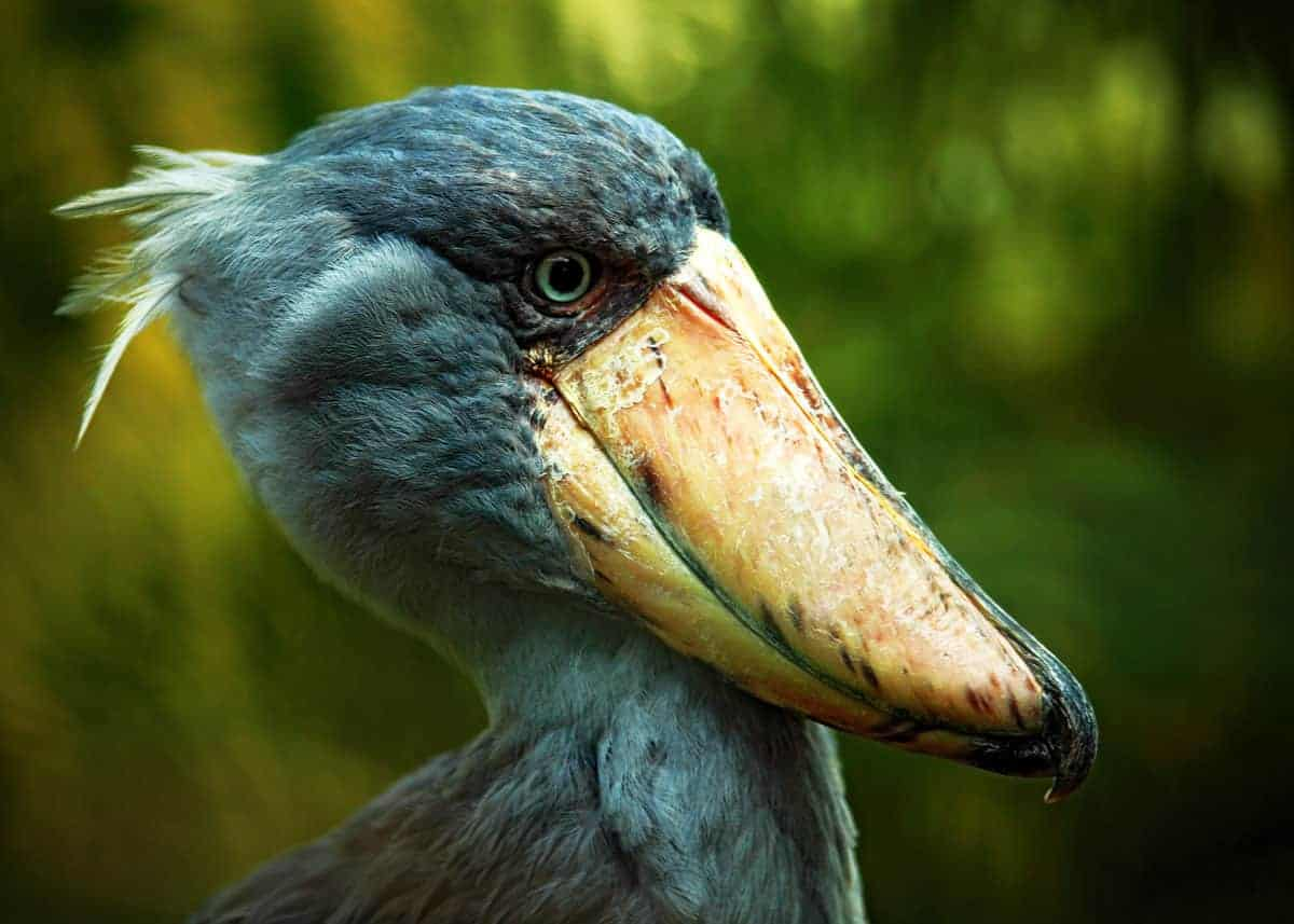 Shoebill Stork facts