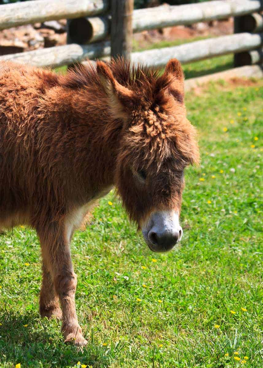 cute dwarf donkey facts