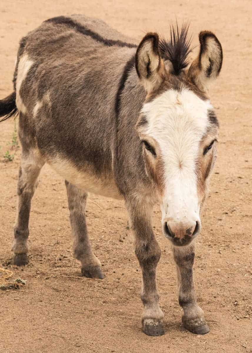 facts about dwarf donkeys