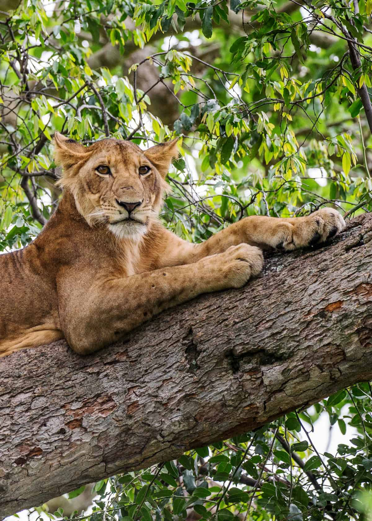 Facts about lions in Africa