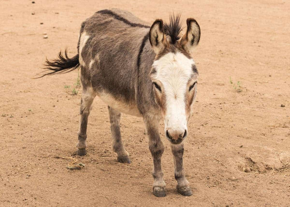 facts about miniature donkeys