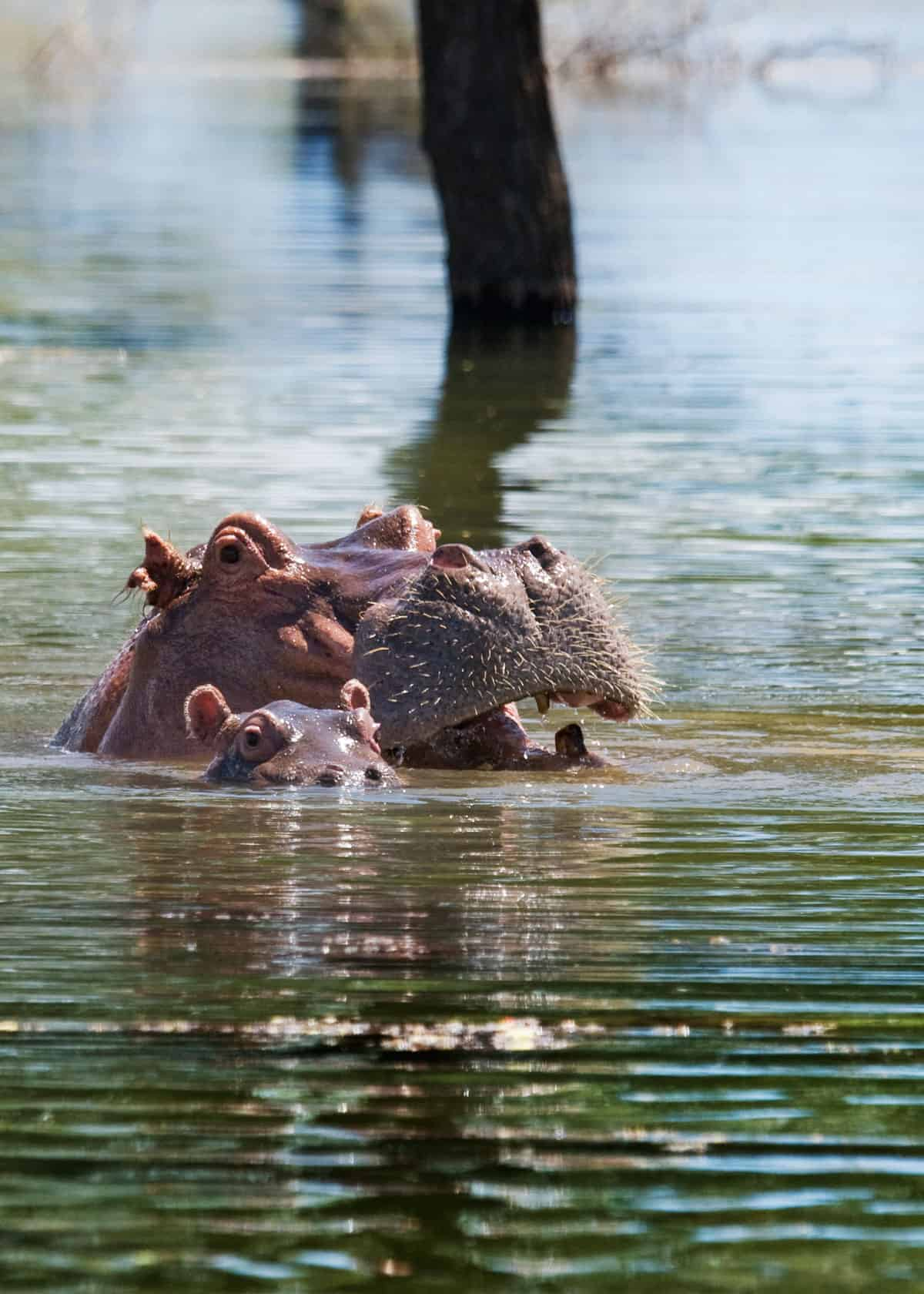 Baby hippo swimming