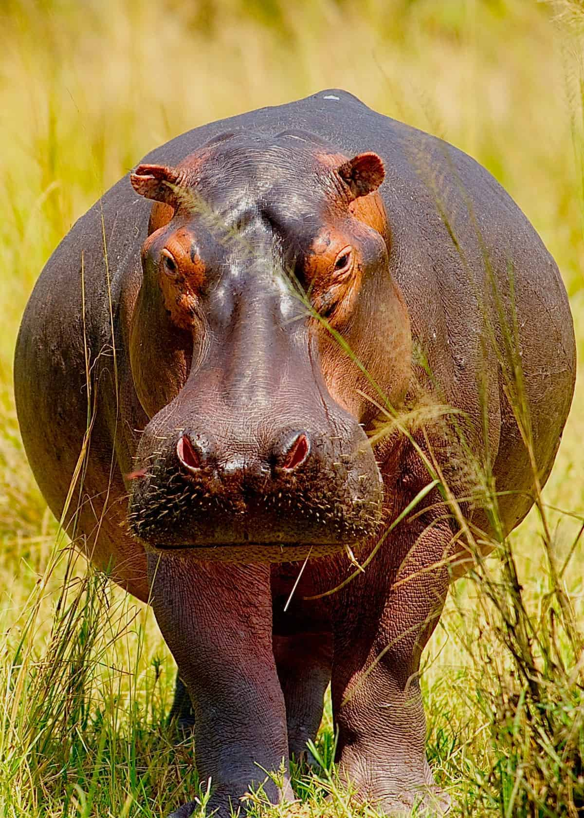 Facts about hippopotamus