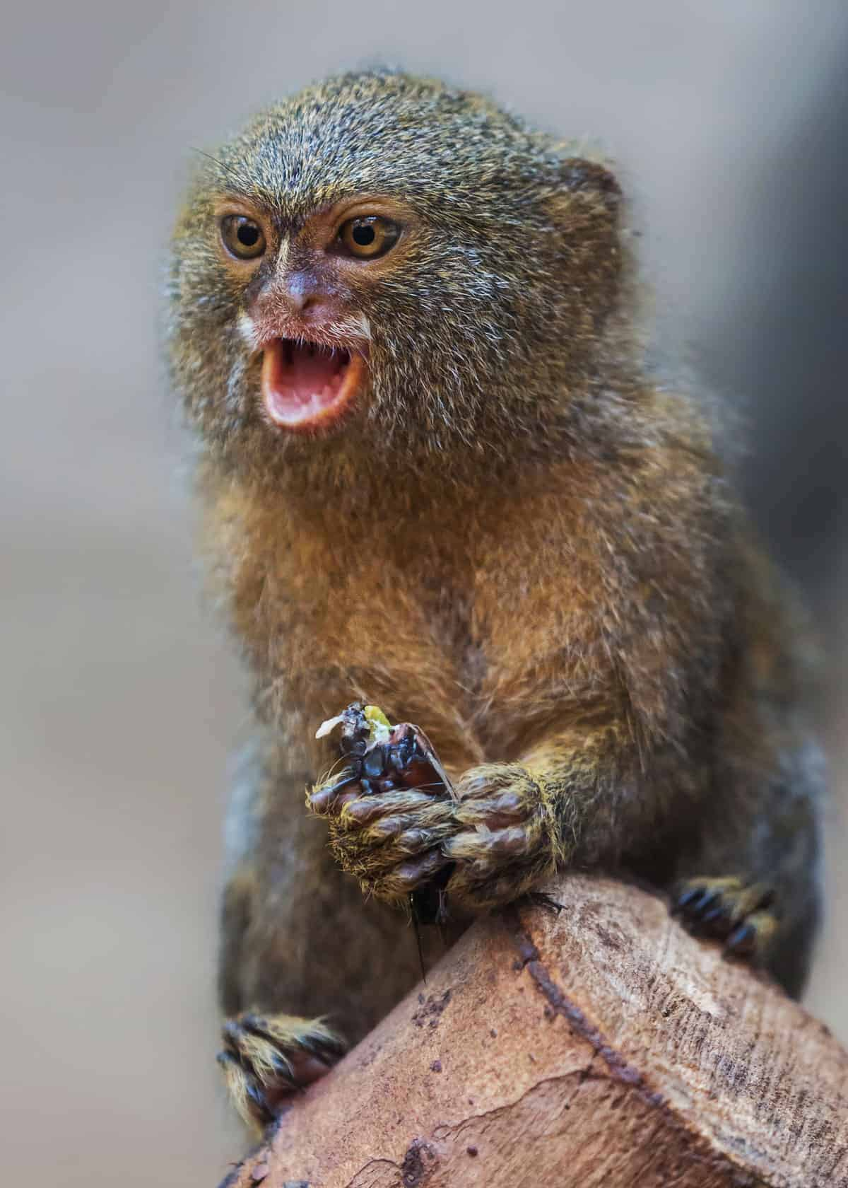 What is a marmoset