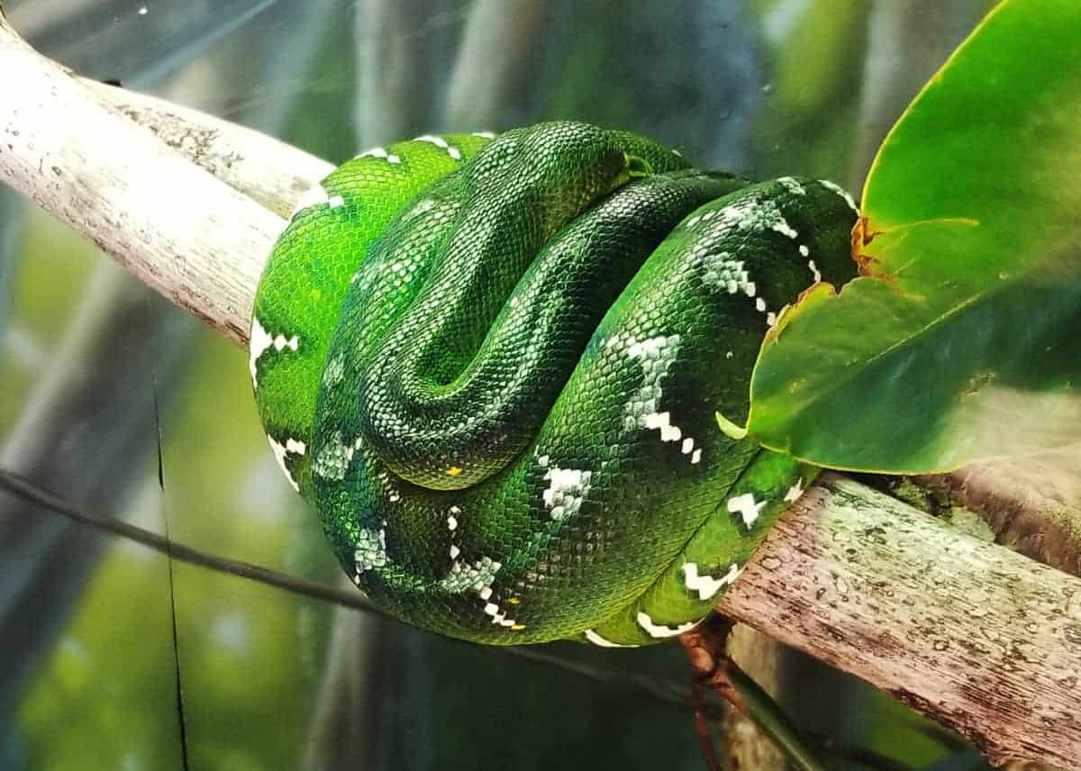 emerald tree boa resting