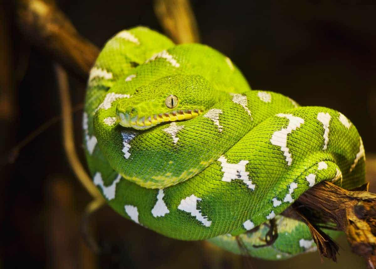 45 Emerald Tree Boa Facts (Guide to Both Species) Diet