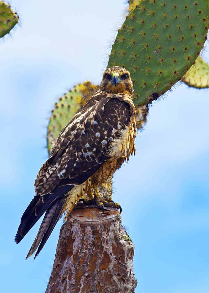 22 Galapagos Hawk Facts: Diet, Range, Size, Population