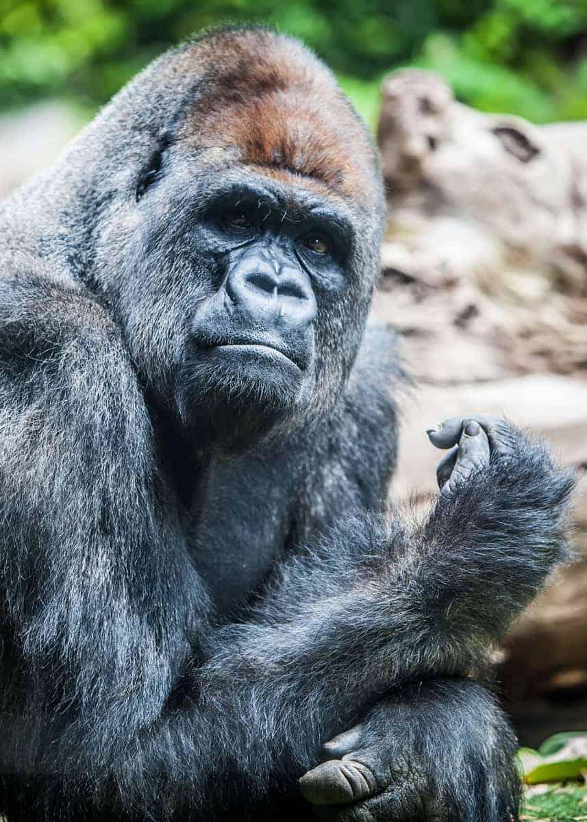 gorilla vs