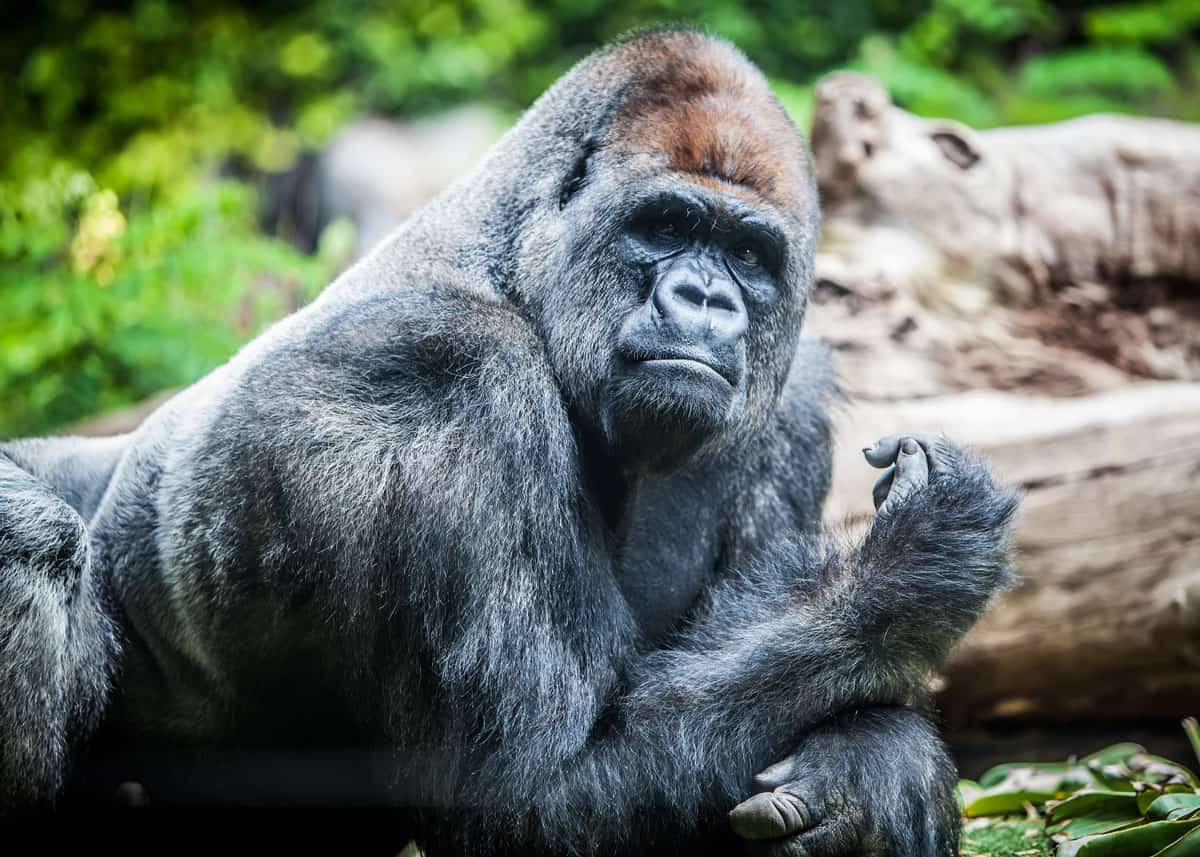 how strong is a gorilla