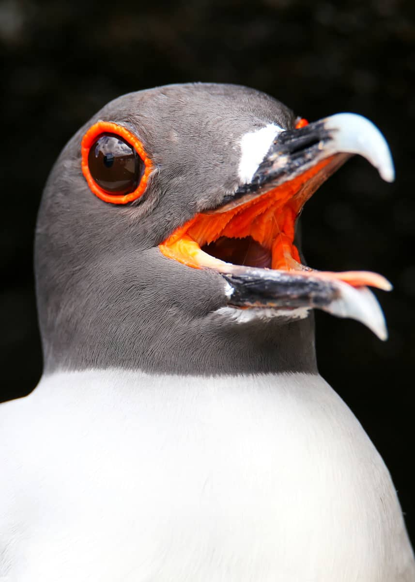swallow-tailed gull facts