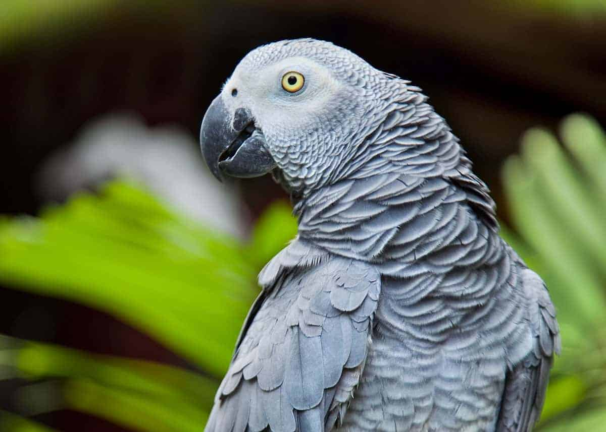 44 African Grey Parrot Facts (Complete Guide) Talkative