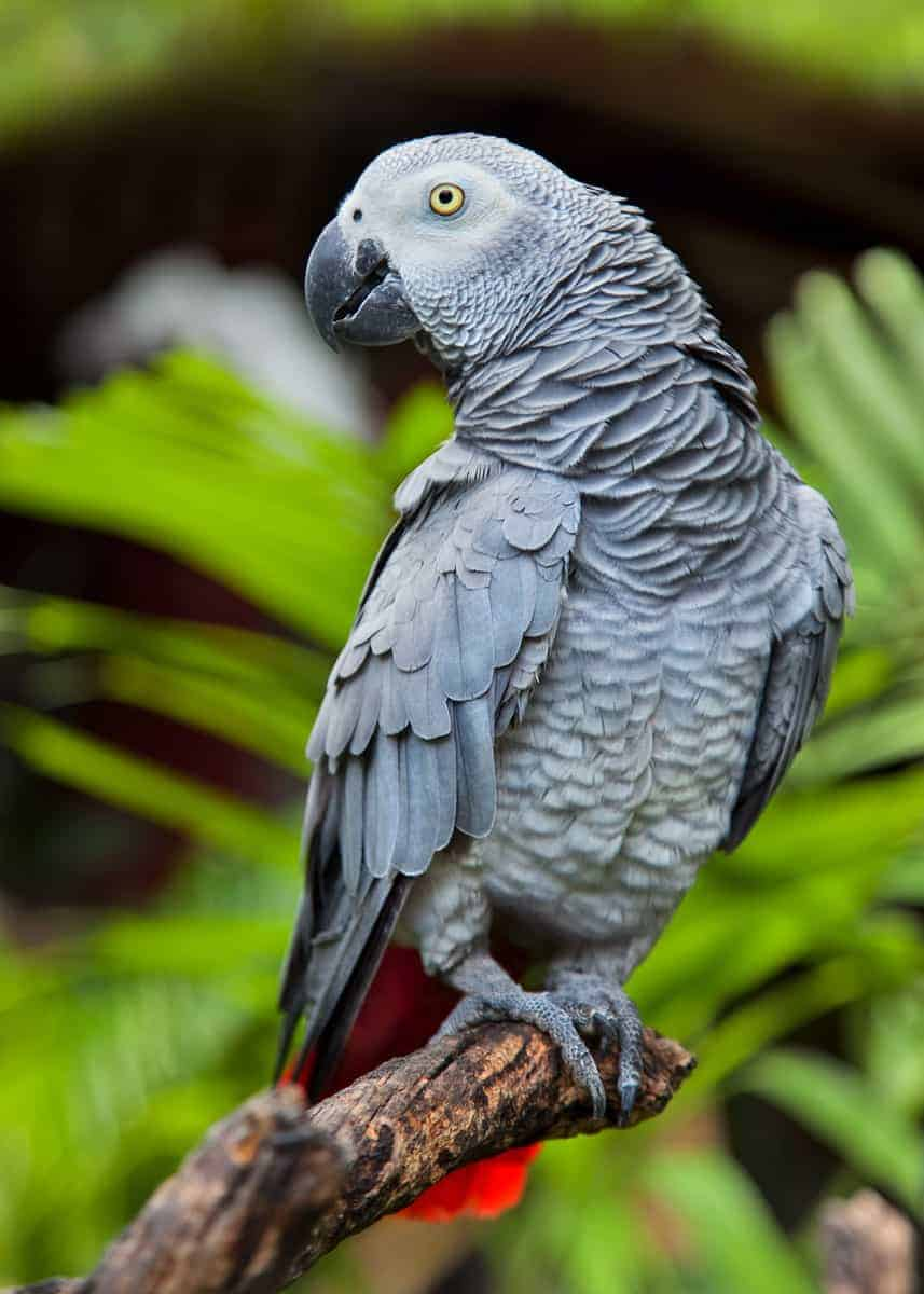 African grey parrot appearance