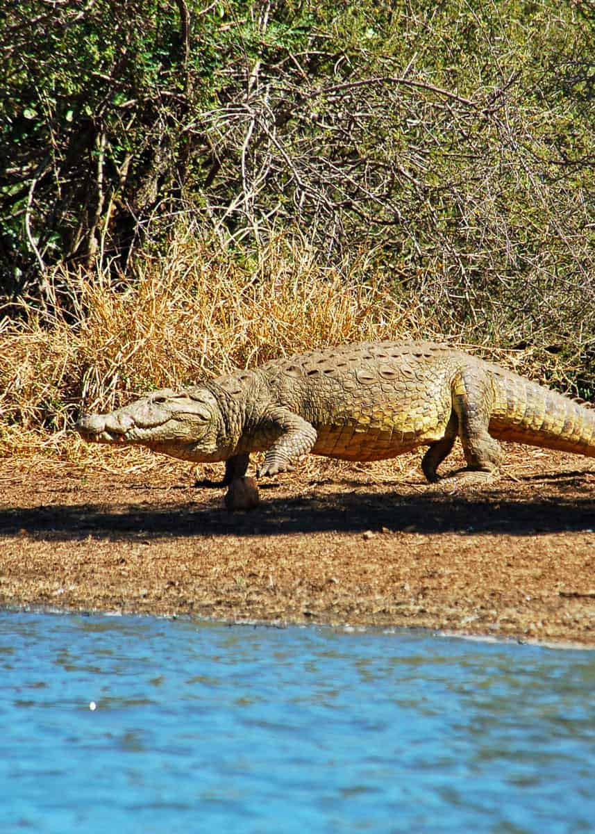 How fast can a crocodile run on land