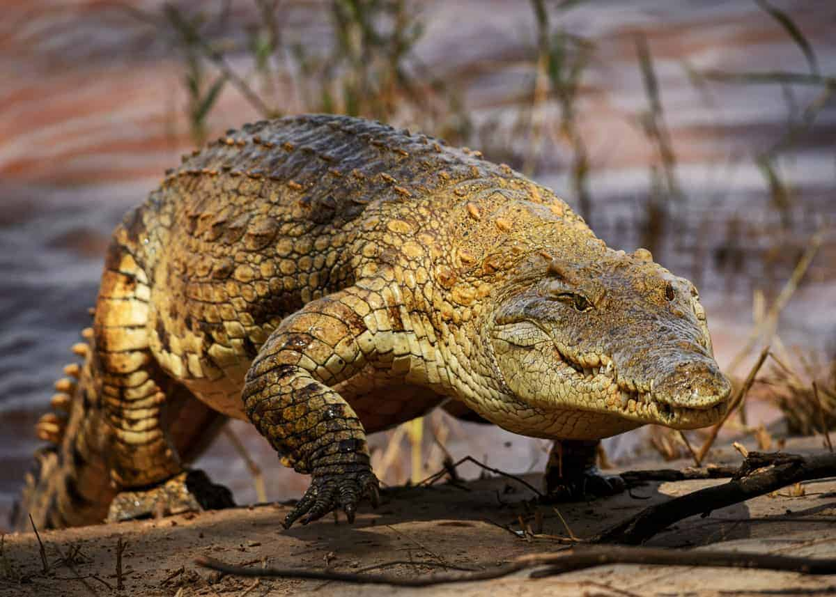 how fast can a crocodile run