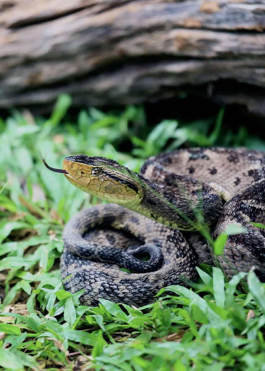 terciopelo viper