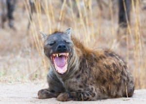 hyena laugh