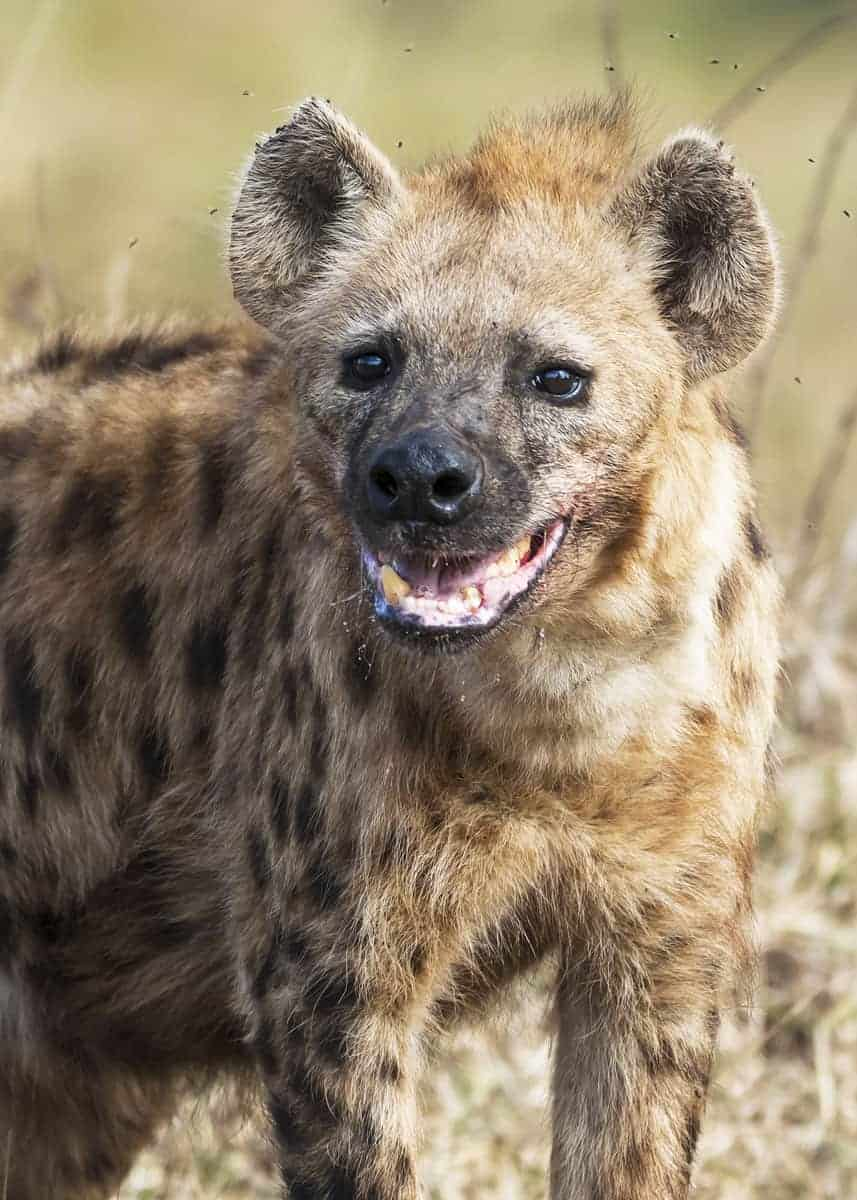 why do hyenas laugh