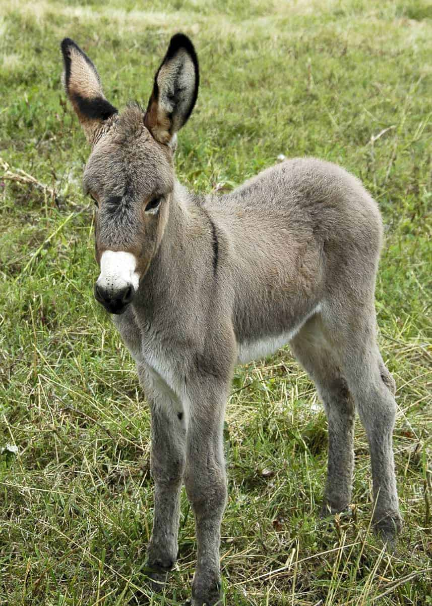 list of donkey facts