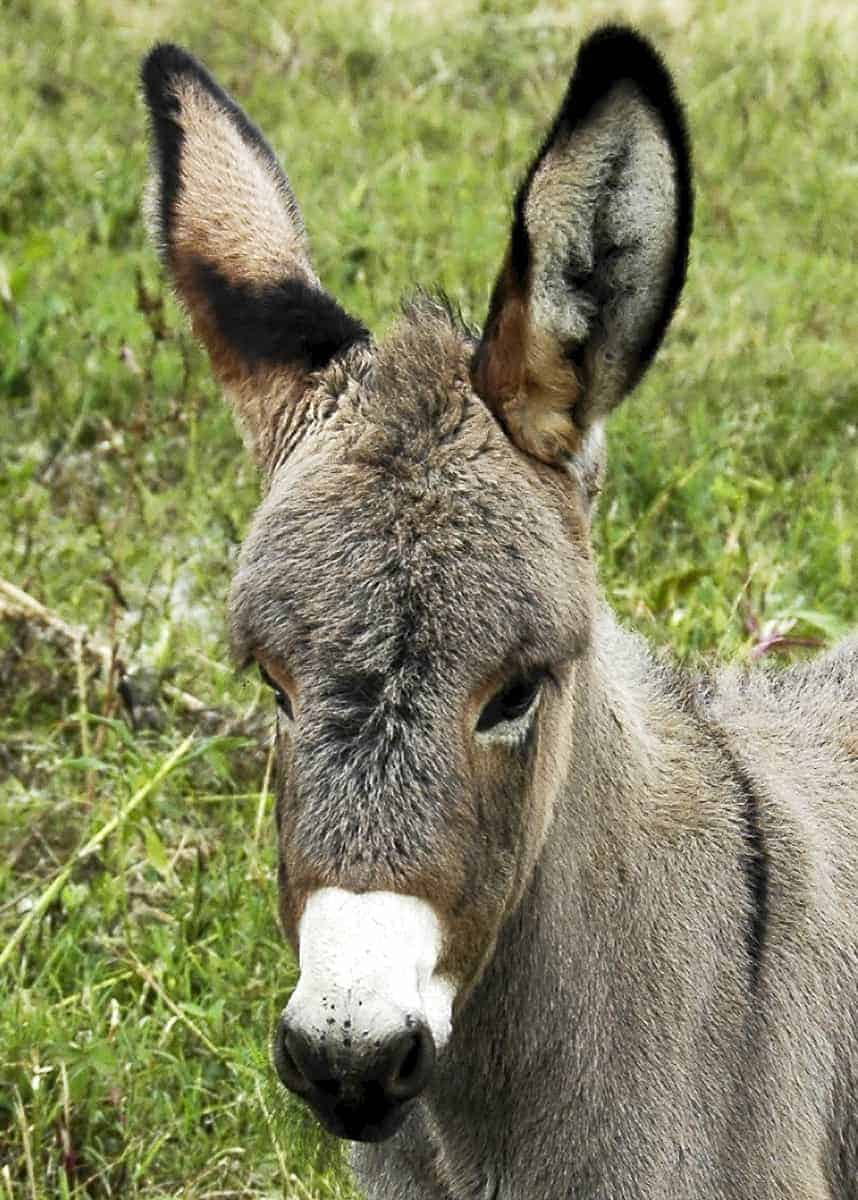 list of facts about donkeys
