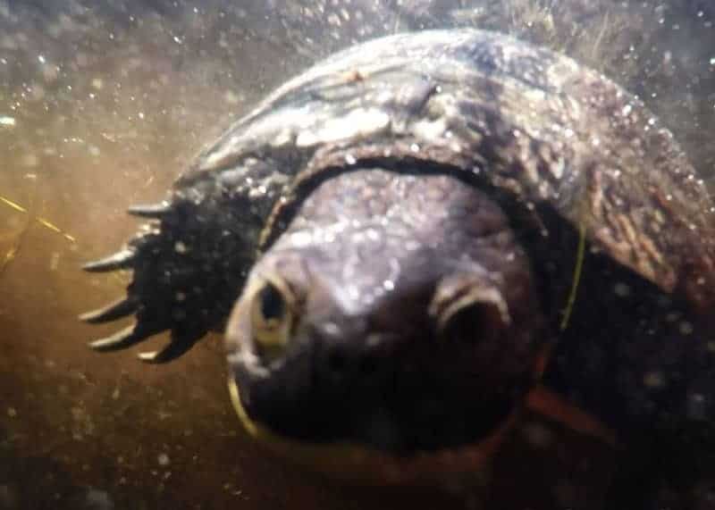 Nova Scotia's Endangered Blanding's Turtle (Underwater Video)