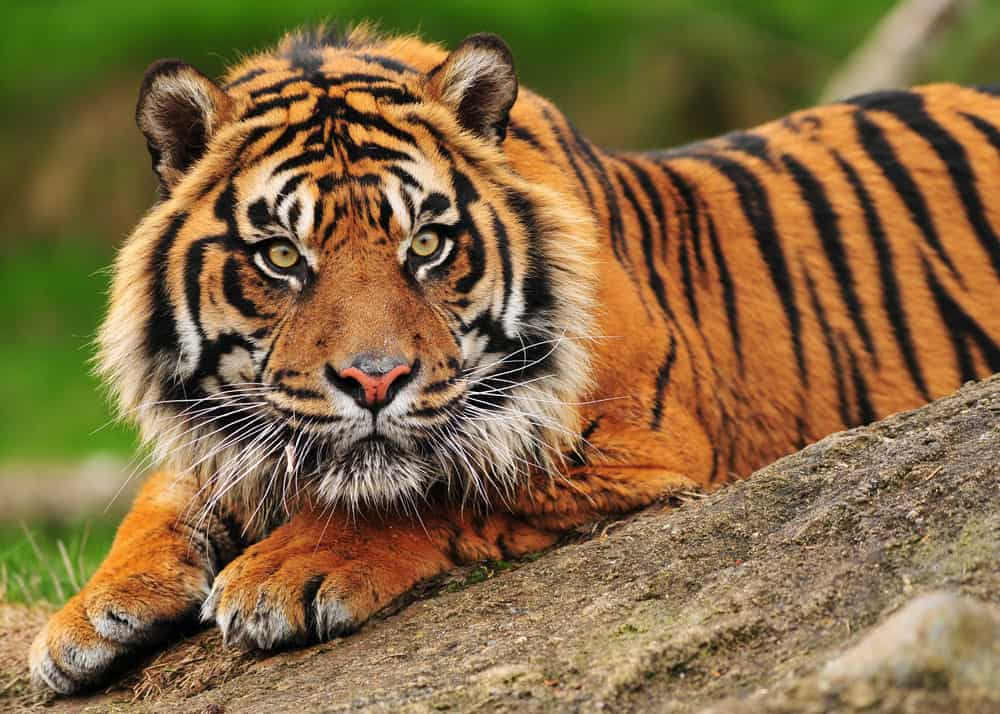 9 Types of Tigers: Guide to All Subspecies (Size ...