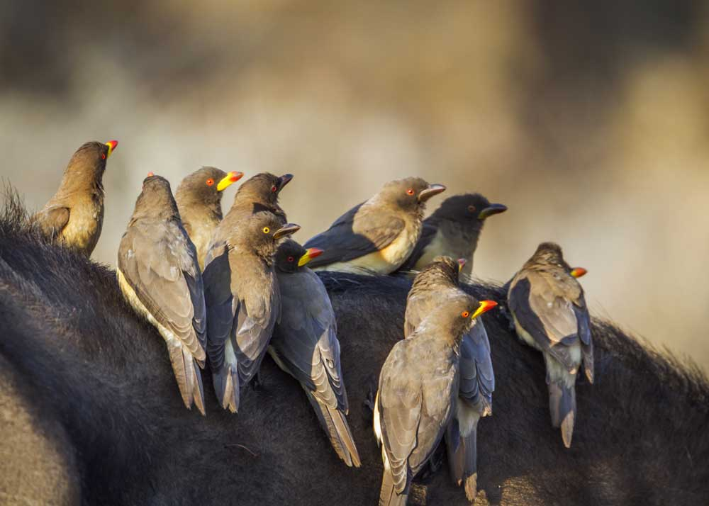 yellow-billed oxpecker bird